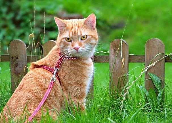 Как приучить взрослую кошку к ошейнику, шлейке? полезные советы котики