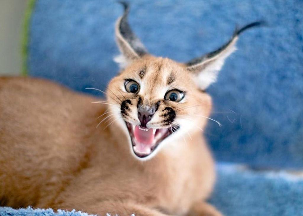 Самая дорогая порода кошек - каракал полезные советы котики истории из жизни