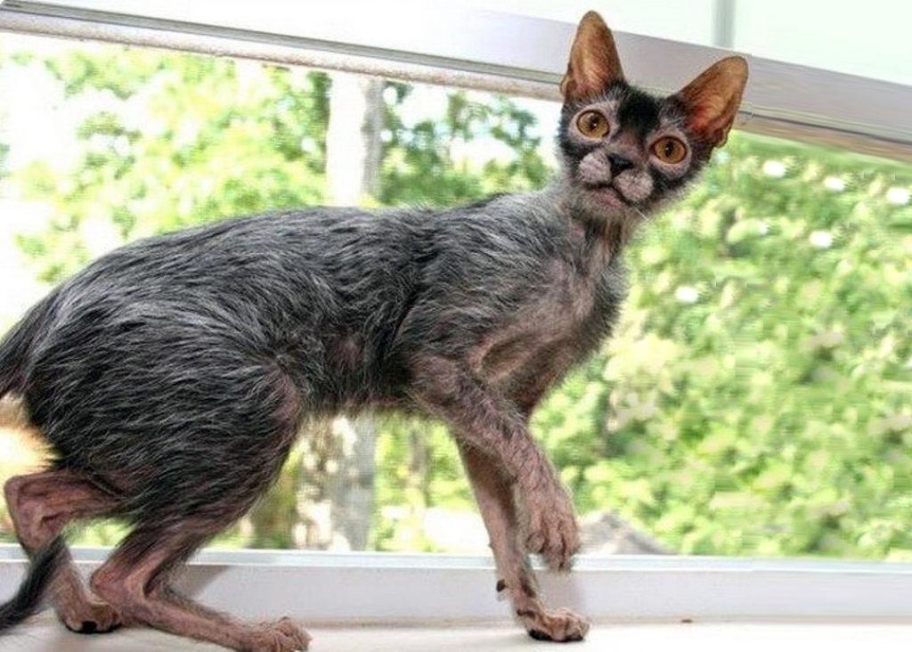 Самые удивительные породы кошек. топ и подборки смешные котики котики