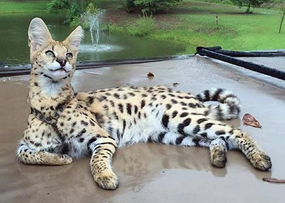 Опасные породы кошек, которых лучше не заводить топ и подборки смешные котики полезные советы котики