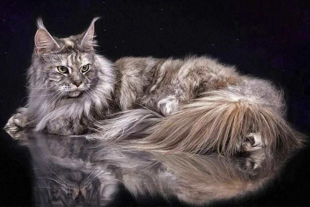 Всё о породе Мейн-кун: фото, характер, воспитание, уход и здоровье Питомцы  смешные котики полезные советы котики